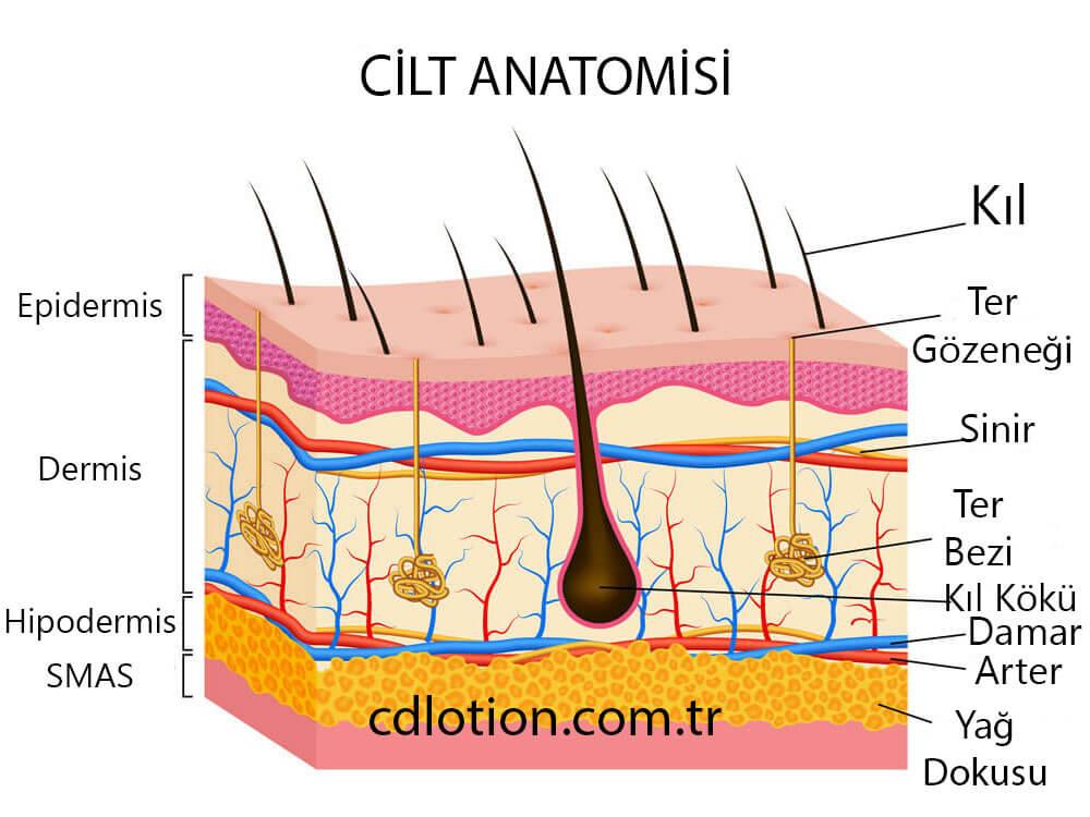 Cilt Anatomisi